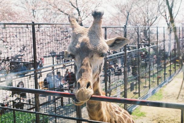 zoo キリンさんアップ!