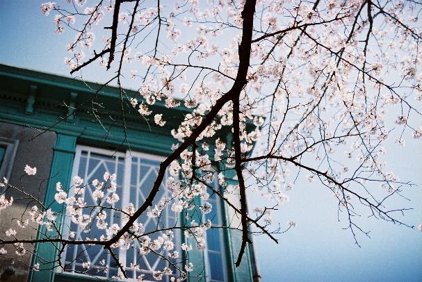 zoo 旧ヘンリー住宅と桜!