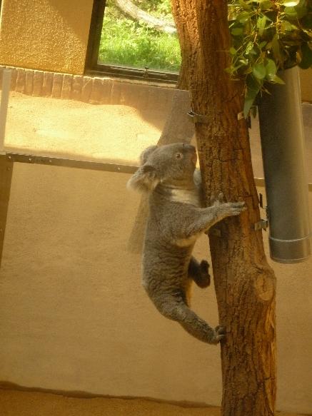 zoo コアラさん よっと♪