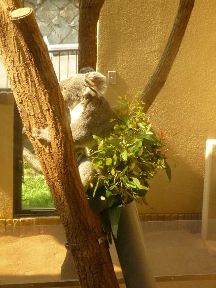zoo コアラさん♪