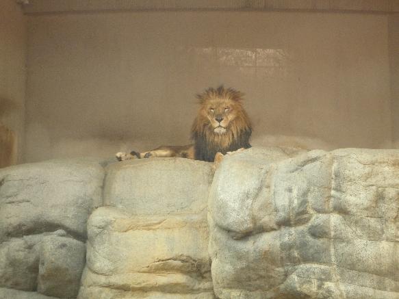 zoo ライオン