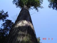 郡山・経絡足ツボ脚もみマッサージ士_たけろぐ_出張専門_伊勢神宮・内宮の鳥居。日本の原点はここからというのも納得でした。神聖な土地で粛々と育つ木々