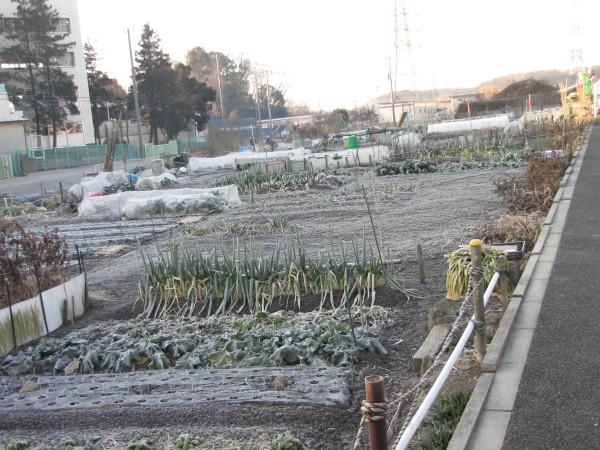 家庭菜園に霜1