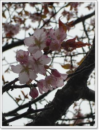 子野日公園の桜2