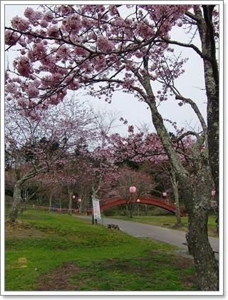 子野日公園の桜1