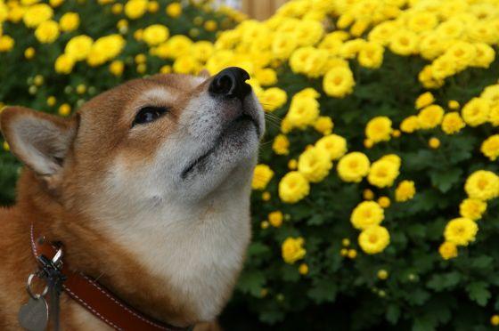 11日比谷公園菊花展