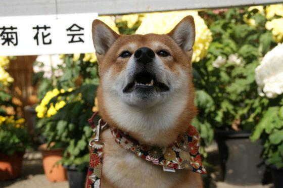 11高幡不動菊花展