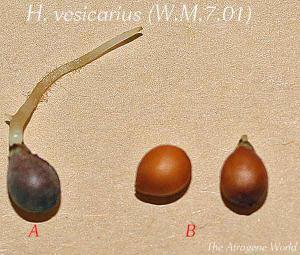 sgvesicarius2512201201.jpg