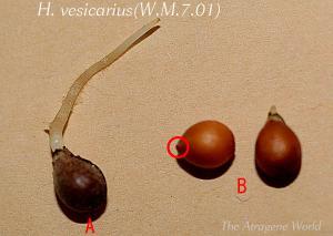 sgvesicarius2512201202.jpg