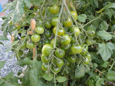 トマトconvert