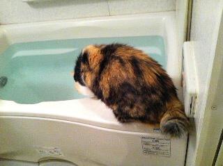 お風呂のお湯を飲みたい猫