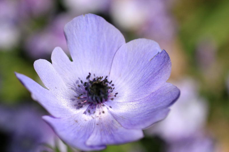 anemone_20120616155344.jpg