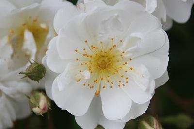一重のバラ2