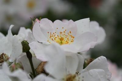 一重のバラ1