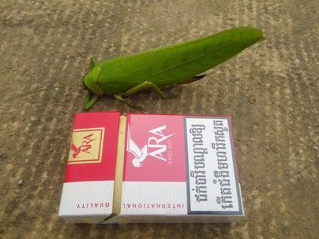 Giant False Leaf Kitydid1