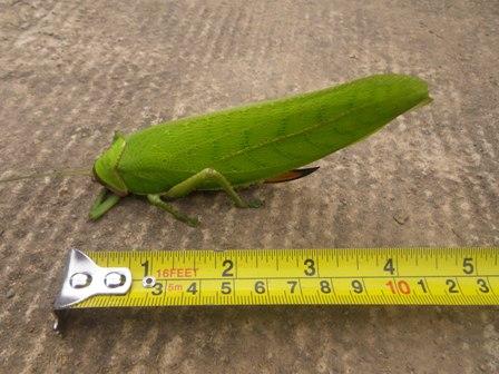Giant False Leaf Kitydid2