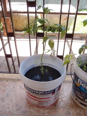 トマト新システム1