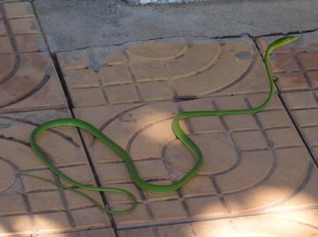 Green Vine Snake1