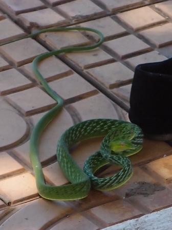 Green Vine Snake2