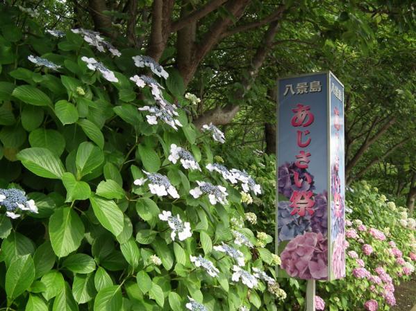 2012年 八景島あじさい祭りの紫陽花(1)