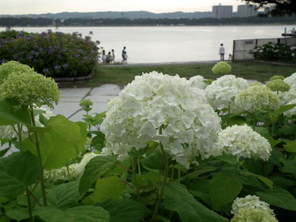2012年 八景島あじさい祭りの紫陽花(2)
