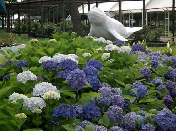 2012年 八景島あじさい祭りの紫陽花(7)