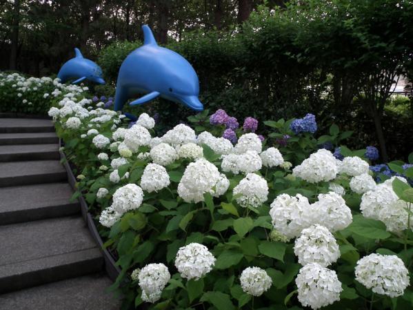 2012年 八景島あじさい祭りの紫陽花(9)