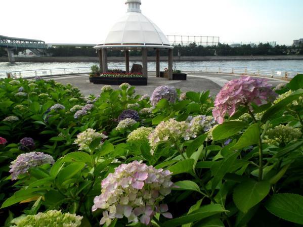 2012年 八景島あじさい祭りの紫陽花(11)