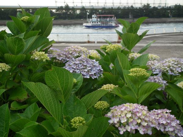 2012年 八景島あじさい祭りの紫陽花(12)