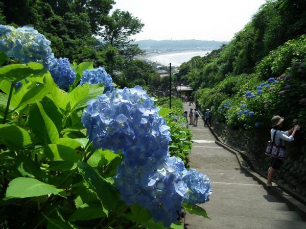成就院の紫陽花(1)