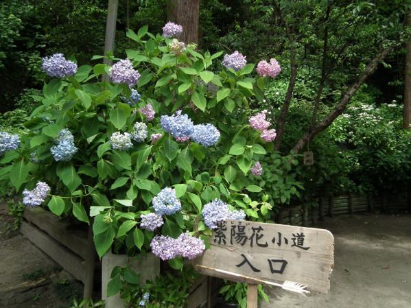御霊神社脇の紫陽花の小径