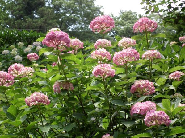 長谷寺の紫陽花(2)