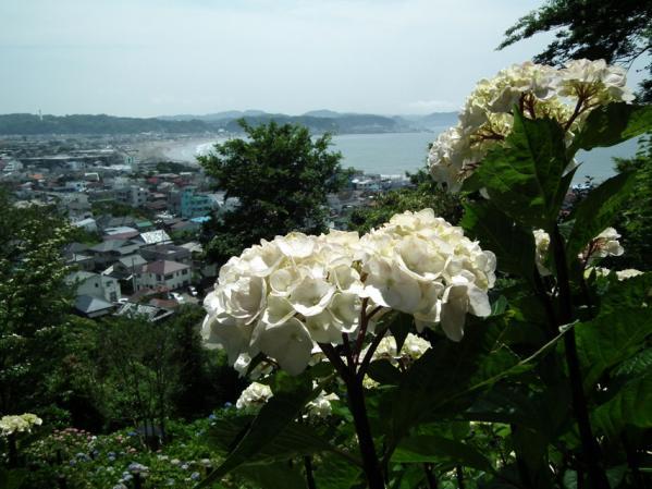 長谷寺の紫陽花(3)