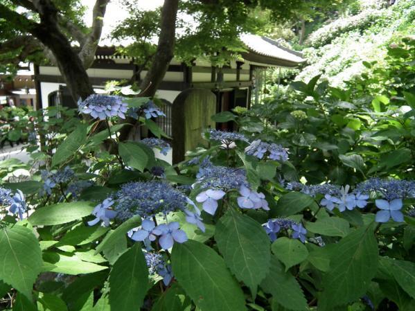 長谷寺の紫陽花(5)