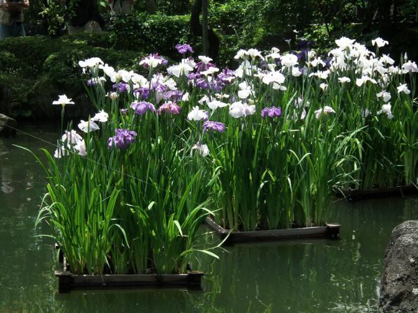 長谷寺の池に咲く菖蒲