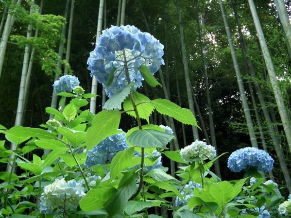 明月院の姫紫陽花と竹やぶ
