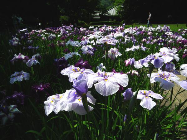 庭園に咲く花菖蒲(1)