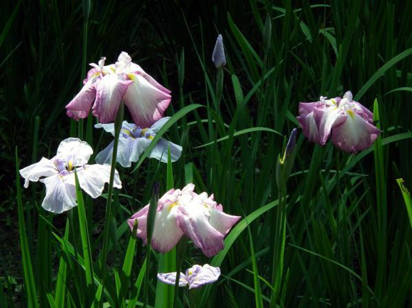 庭園に咲く花菖蒲(2)