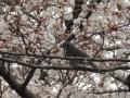 桜をヒヨドリが