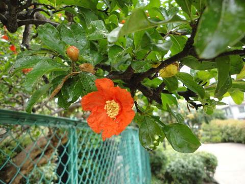 ザクロの花①
