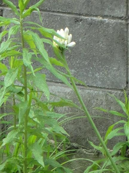 遅れて咲く白のアガパンサス