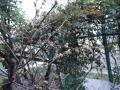 梅のつぼみ②