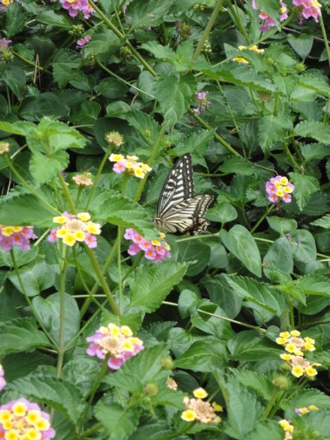 ランタナにアゲハチョウがいました