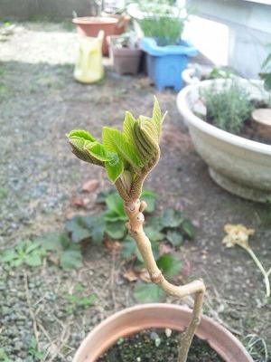オニグルミの芽吹き