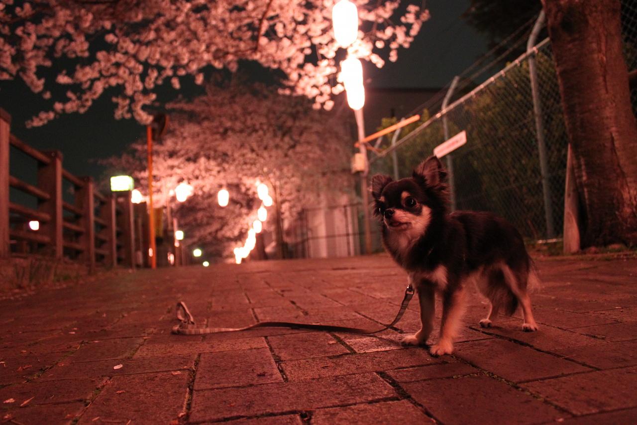夜桜ベッカム