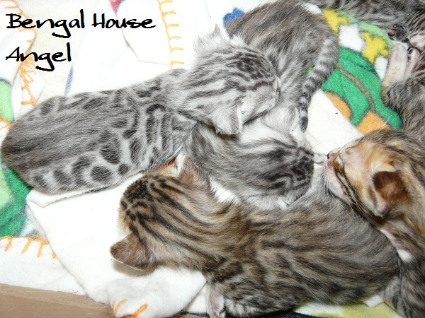 Bengal house Angel 2013051901