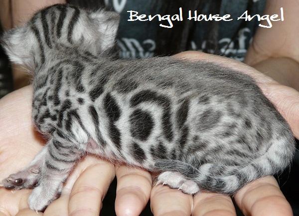 Bengal house Angel 2013051902 シルバーベンガル