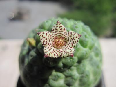 20130617larryleachia cactiformis2