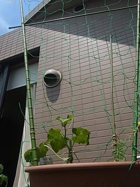 きゅうり定植