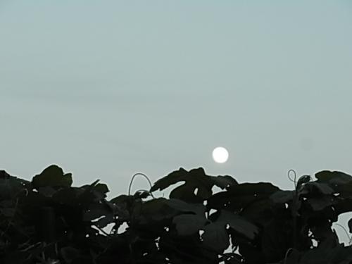 月にゴーヤ